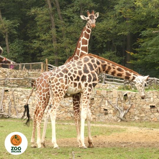 Něco navíc o žirafách