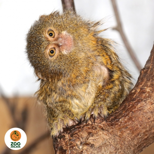 Něco navíc o drápkatých opičkách