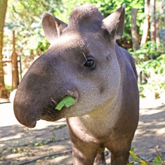 Něco navíc o tapírech