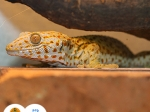 gekon obrovský