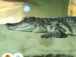 krokodýl siamský