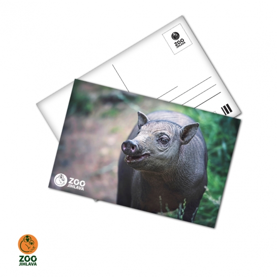 Pohled 15x10 cm - babirusa sulaweská