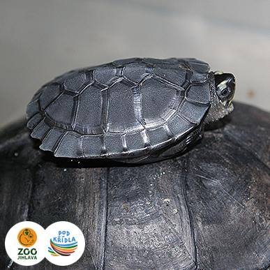 želva tlustohrdlá