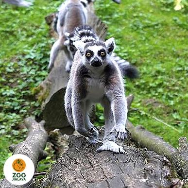 Něco navíc o lemurech