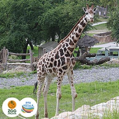 žirafa núbijská